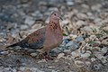Laughing Dove ...Gambia (32763449890).jpg