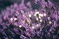 Lavender flower bed in the evening (Unsplash).jpg