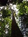 Lawachara National Park tree.jpg