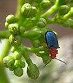 Leaf beetle (4618499482).jpg