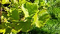 Leaves and grapes in Chateaux Luna vineyard 1.jpg