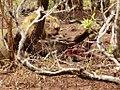 Leeuw heeft honger (6290934500).jpg