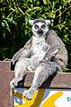 Lemur (25381311974).jpg