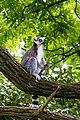 Lemur (36948131511).jpg