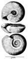 Lentorbis carringtoni shell.png