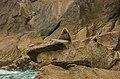 Leones marinos de Steller (Eumetopias jubatus), Bahía de Aialik, Seward, Alaska, Estados Unidos, 2017-08-21, DD 80.jpg