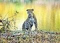 Leopard in the dawn.jpg
