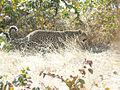 Leopard namibie.jpg