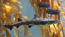 Side view of a leopard shark, a slender gray fish with a series of black saddle-like markings and large spots on its back; there are smaller fish and yellow-brown kelp fronds in the background