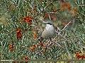Lesser Whitethroat (Sylvia curruca) (22626505041).jpg