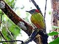 Lesser Yellownape - Mugilu Homestay 02.jpg