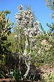 Leucadendron argenteum - Leaning Pine Arboretum - DSC05670.JPG