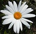 Leucanthemum superbum 2015-07-15 4463.jpg
