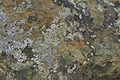 Lichen on Greenstone (9599972316).jpg