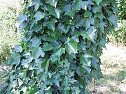 https://upload.wikimedia.org/wikipedia/commons/thumb/1/1e/Lierre_sur_un_arbre.jpg/180px-Lierre_sur_un_arbre.jpg