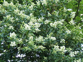 Description de l'image Ligustrum ovalifolium1.jpg.