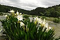 Lilies at Cahaba River National Wildlife Refuge (5687567290).jpg