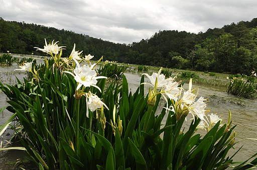 Lilies at Cahaba River National Wildlife Refuge (5687567290)