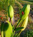 Lilioceris lilii 2010.JPG