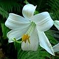 Lilium candidum 2.jpg