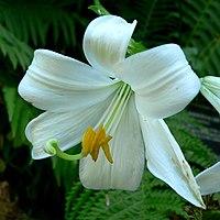 Lilium candidum 2