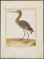 Limosa aegocephala - 1700-1880 - Print - Iconographia Zoologica - Special Collections University of Amsterdam - UBA01 IZ17400001.tif
