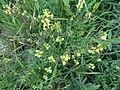 Linaria vulgaris Mill. (7616821878).jpg