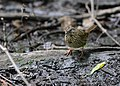 Lincoln's Sparrow (works) (32596604986).jpg