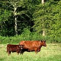 Lincoln Red Cow and calf in pasture adjacent to Honing Road - geograph.org.uk - 542080 (cropped).jpg
