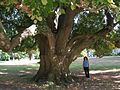 Linden Tree, Woodlawn Cemetery, Bronx, NY - September 16, 2012.jpg
