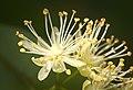 Linden flowers (explored) - Flickr - hedera.baltica.jpg