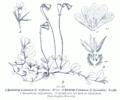 Linnaea borealis GS455.png
