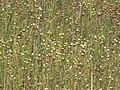 Linum usitatissimum field, Vlasveld (1).jpg
