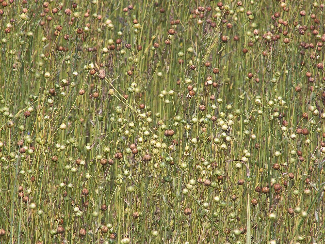 Ľan siaty (Linum usitatissimum) s plodmi