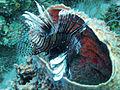 Lionfish - the reef destroyer (4905705541).jpg