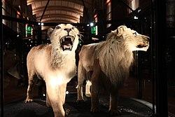 Lion du Cap au muséum national d'histoire naturelle à Paris.