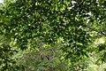 Liquidambar styraciflua in Eastwoodhill Arboretum (6).jpg