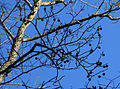 Liquidambar styraciflua sweet gum balls on winter tree.jpg