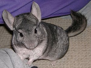 gray chinchilla
