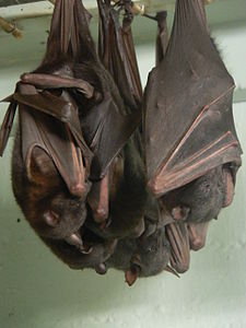 Little Red Flying-fox, Pteropus scapulatus Pengo.jpg