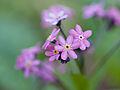 Little purple flowers (14332864884).jpg