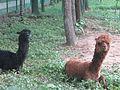 Llamas at the park.jpg