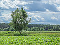 Lonely birch (14616433241).jpg