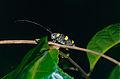 Longhorn Beetle (Cerambycidae) (14240654986).jpg