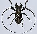 Longhorn Beetle (Stellognatha maculata) (8436638886).jpg