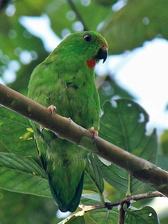 Great hanging parrot - Female Sulawesi hanging parrot at Warembungan, North Sulawesi