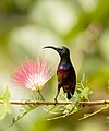 Loten's Sunbird AMSM9815.jpg