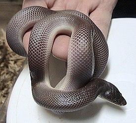 http://upload.wikimedia.org/wikipedia/commons/thumb/1/1e/Loxocemus_bicolor.jpg/275px-Loxocemus_bicolor.jpg