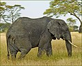 Loxodonta africana by Ron Cogswell.jpg