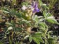 Lupinus pusillus (4013427222).jpg